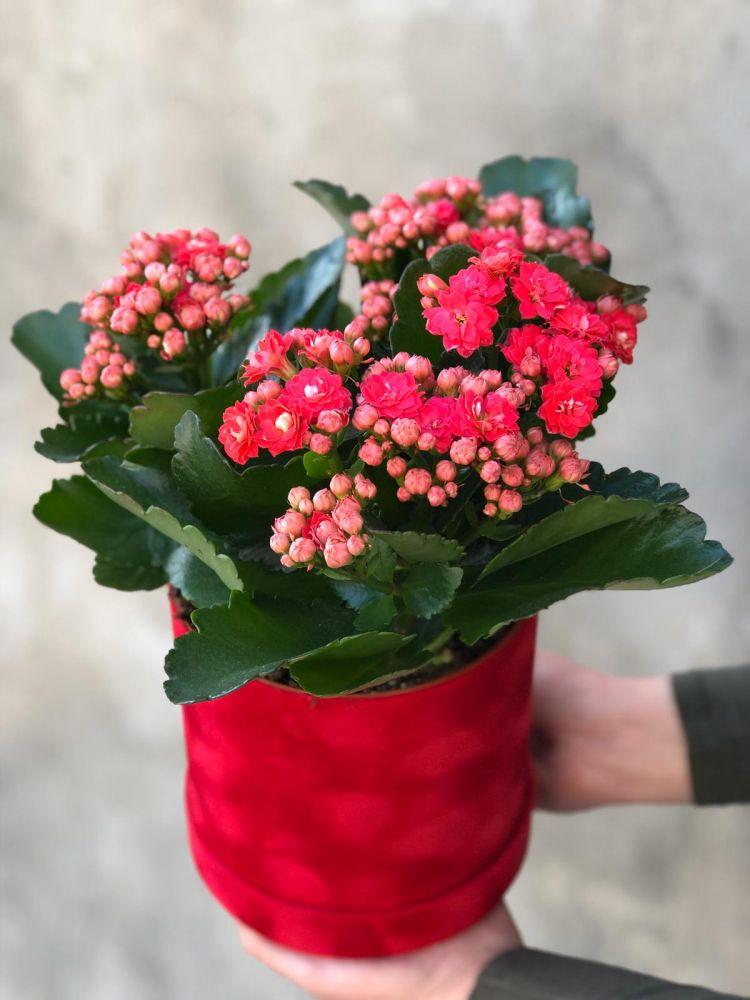 Ziedu kaste KALANHOJA PINK