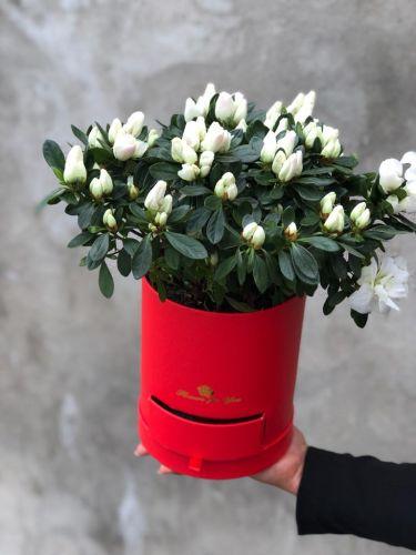 Цветочная коробка ACALIA WHITE