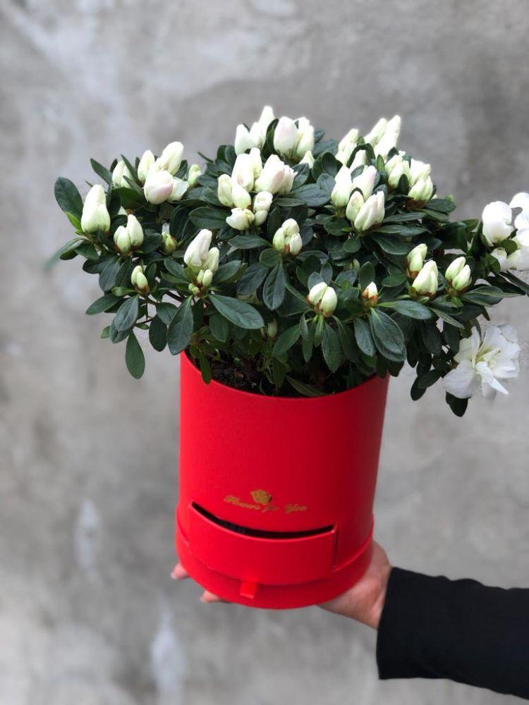 Ziedu kaste ACALIA WHITE