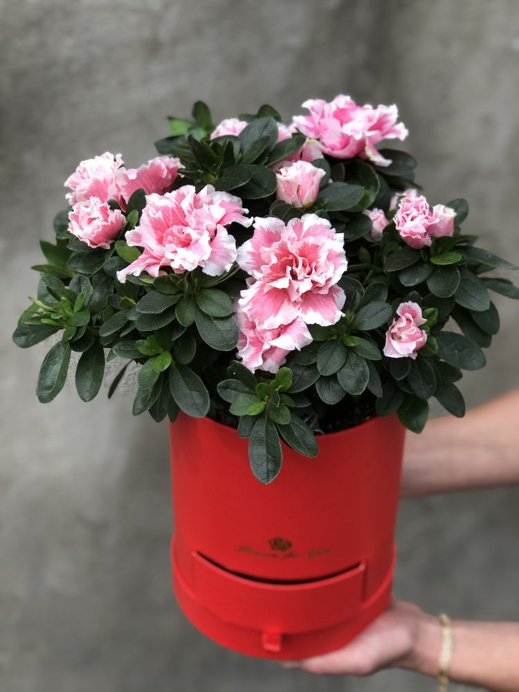 Цветочная коробка ACALIA LIGHT PINK
