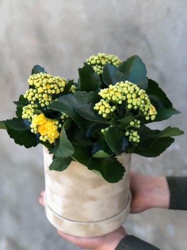 Ziedu kaste KALANHOJA YELLOW