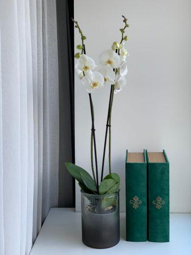 ORCHIDEA WHITE